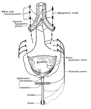 Pudendal nerve - Image: Grant 1962 214