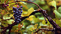 Grapess edit2.jpg