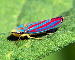 Red-banded leafhopper, Graphocephala coccinea