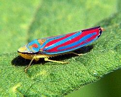Graphocephala coccinea 6.jpg