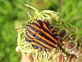Graphosoma lineatum (Pentatomidae) (Striped shield bug) - (imago), Arnhem, the Netherlands.jpg
