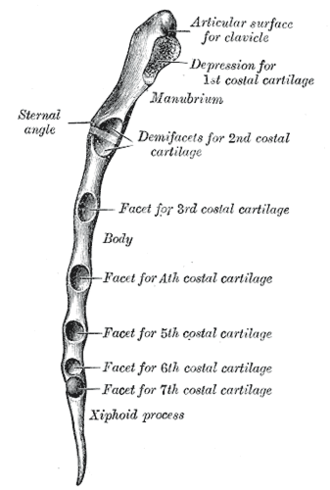 Sternal angle - Lateral border of sternum