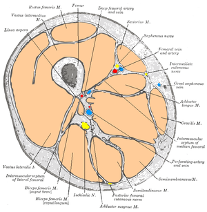 Anterior compartment of thigh - Cross-section through the middle of the thigh. (Anterior compartment is at upper left, from the 7 o'clock position to the 2 o'clock position)