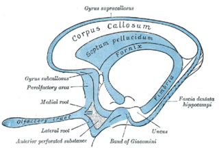 Lateral olfactory stria