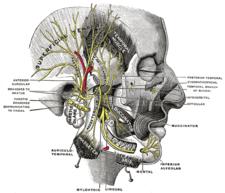 Větve n. facialis