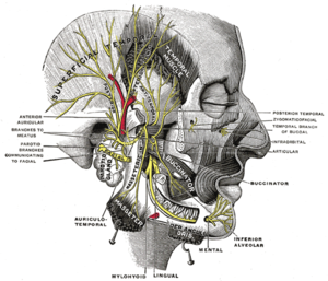 Muscles of mastication - Mandibular division of the trigeminal nerve.