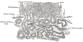 Olfactory epithelium - Section of the olfactory mucous membrane.