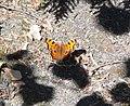 Gray Comma Butterfly.jpg