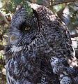 Great Grey Owl (8033904738).jpg