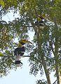 Great Pied Hornbill Buceros bicornis by Dr. Raju Kasambe (4).jpg