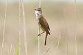 Great Reed Warbler (Acrocephalus arundinaceus) (8079439153).jpg