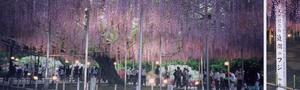 Wisteria - Image: Great wisteria blossom Ashikaga Tochigi (Japan)