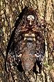 Greater Death's Head Hawk Moth Acherontia lachesis DSCN8877 (11).jpg
