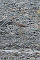Greater Yellowlegs (Tringa melanoleuca) - Witless Bay, Newfoundland 2019-08-09 (02).jpg