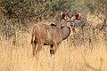 Greater kudu (Tragelaphus strepsiceros) calf male.jpg