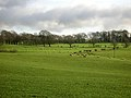 Green Fields and Sheep - geograph.org.uk - 318417.jpg