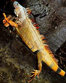 Green Iguana In Florida.jpg