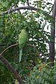 Green Parrot in Ramat Gan (1).jpg