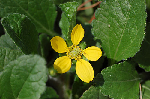 Green and Gold Chrysogonum virginianum Flower 3008