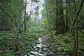 Green creek at Muir Woods.jpg