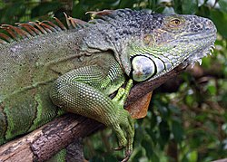 Green iguana on branch.jpg