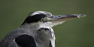 Grey heron - Head, with neck retracted