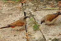 Greyheadsparrow.jpg