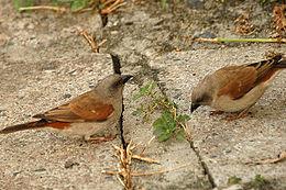 Greyheadsparrow