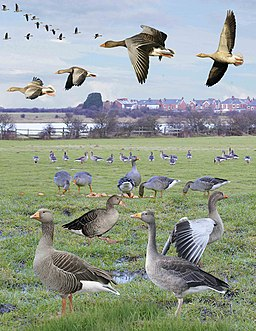 Greylag Goose from the Crossley ID Guide Britain and Ireland