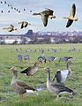 Greylag Goose from the Crossley ID Guide Britain and Ireland.jpg