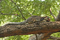 Grizzled Giant Squirrel Ratufa macroura from Cauvery Wildlife Sanctuary.jpg