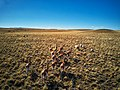 Guanaco - wild llamas (39330097815).jpg