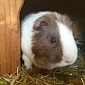 Guinea pig in hutch.jpg