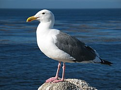 Västtrut (Larus occidentalis)
