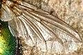 Gymnocheta.viridis.wing.detail.jpg