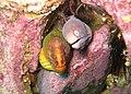 Gymnothorax prasinus and Gymnothorax thrysoideus.jpg
