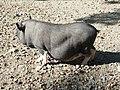 Hängebauchschwein.jpg