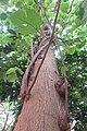 HK 般咸道 Bonham Road plant 构樹 Broussonetia papyrifera tree trunk Nov 2017 IX1 01.jpg
