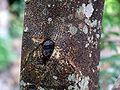 HK Aquilaria sinensis Bark.JPG