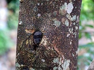 Aquilaria sinensis - Image: HK Aquilaria sinensis Bark
