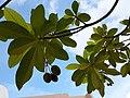 HK SKD TKO 將軍澳 Tseung Kwan O 寶琳 Po Lam 運隆路 Wan Lung Road tree n fruits June 2021 SS2 03.jpg