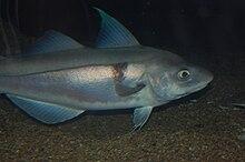 Haddock Deutsch