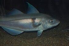 Пикша, Бостонский аквариум.JPG