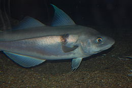 Haddock, Boston Aquarium.JPG