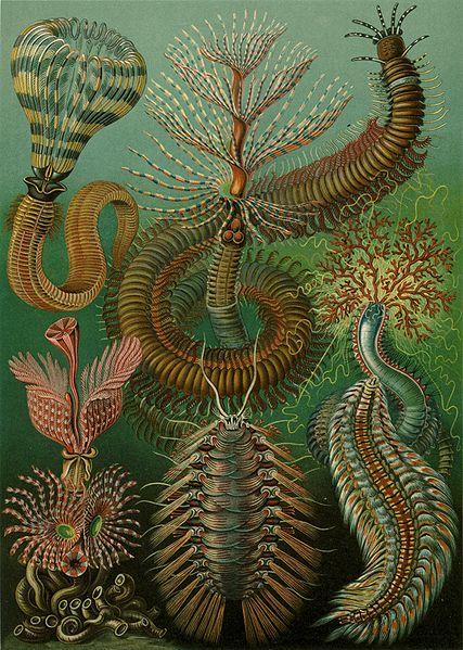 Image:Haeckel Chaetopoda.jpg