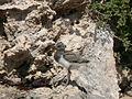 Haematopus longirostris chick.jpeg