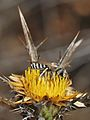 Halictus tetrazonianellus male 1.jpg
