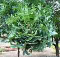 Harpephyllum caffrum kz1.JPG