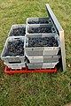 Harvested Cab Franc from Chateau La-Roche.jpg