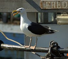 Havstrut aka Larus marinus aka Great black-backed gull.jpg